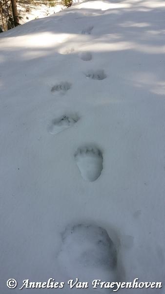 bear tracks in the snow - Slovakia