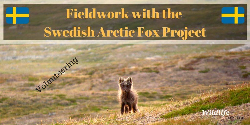 Arctic fox project Sweden 2018