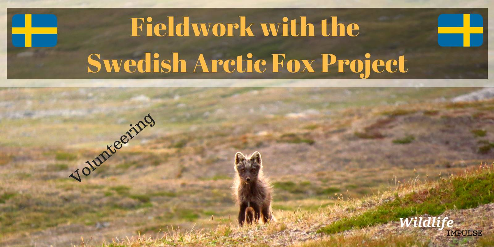 Arctic fox project Sweden 2018