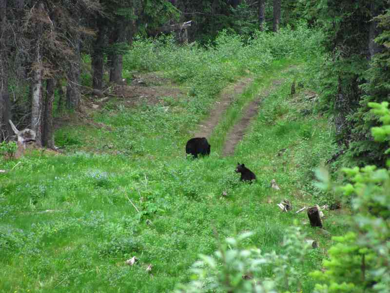 Black bear with cubs