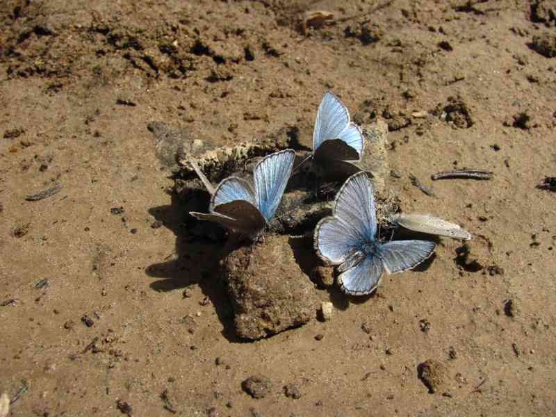 Butterflies on scat
