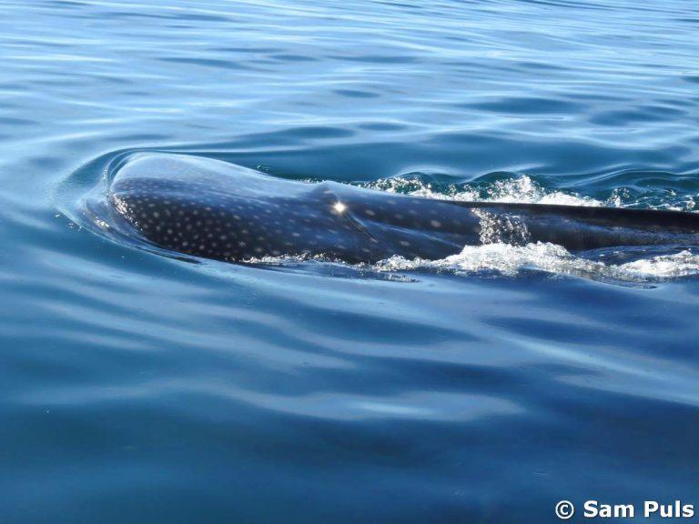 isla holbox whale shark