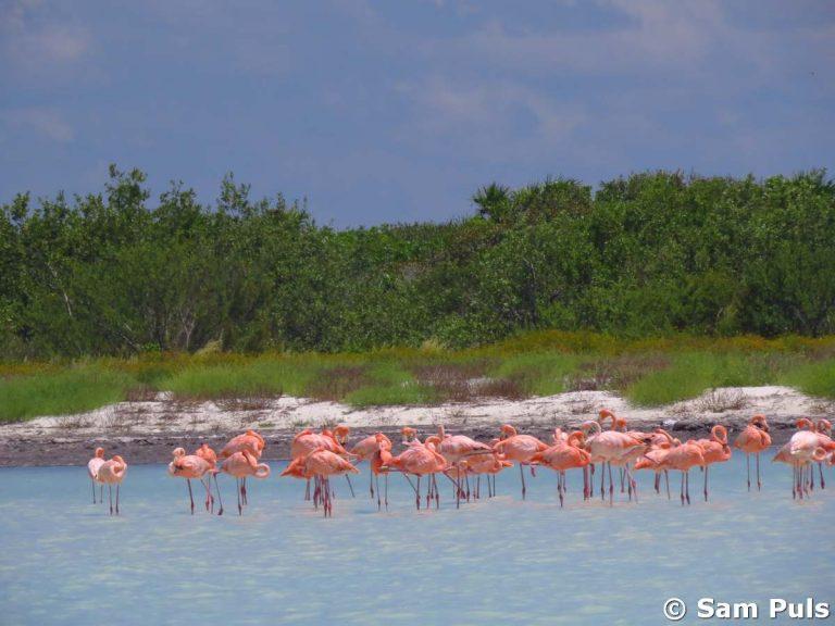 flamingos at isla holbox