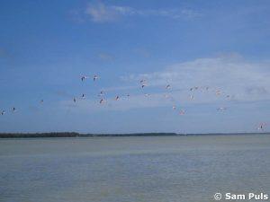 Flamingo celestun