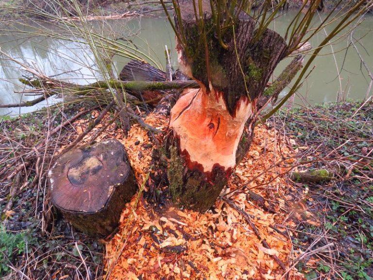 beaver signs