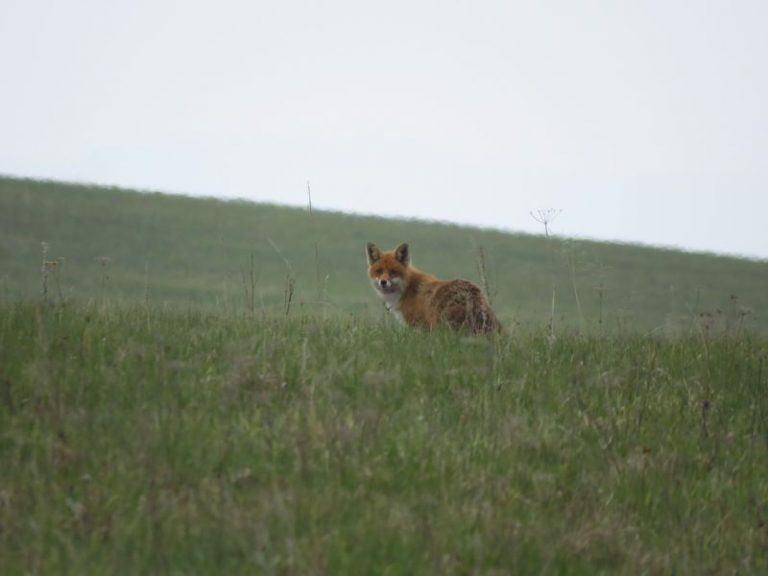red fox in slovakia
