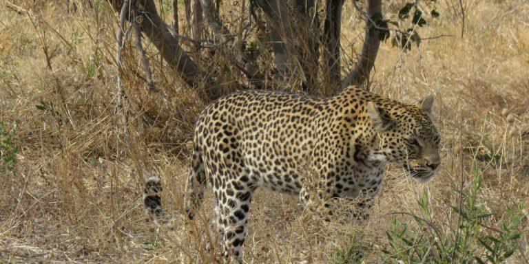 Leopard -Botswana