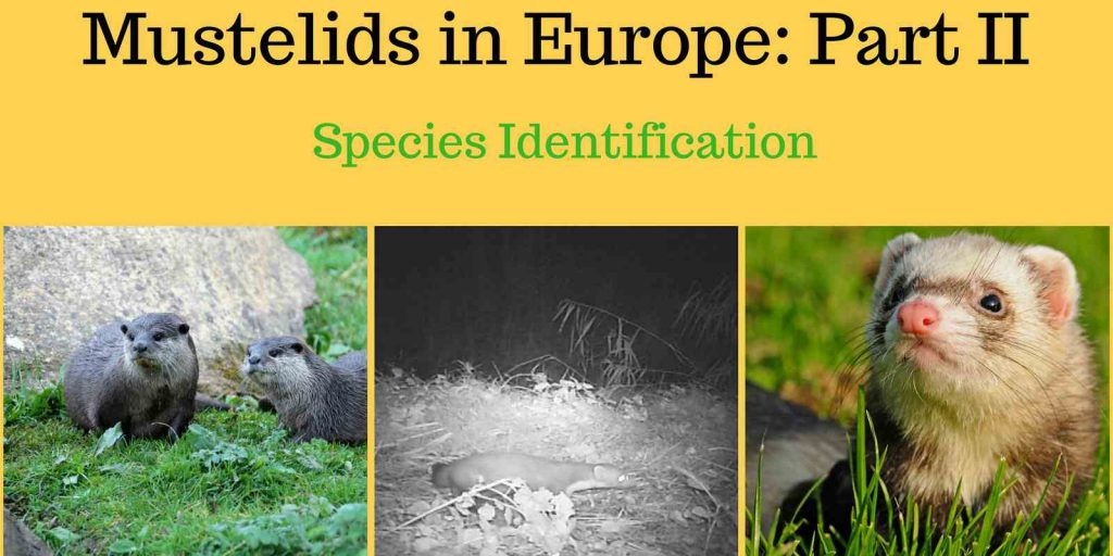 Mustelids in Europe Part 2
