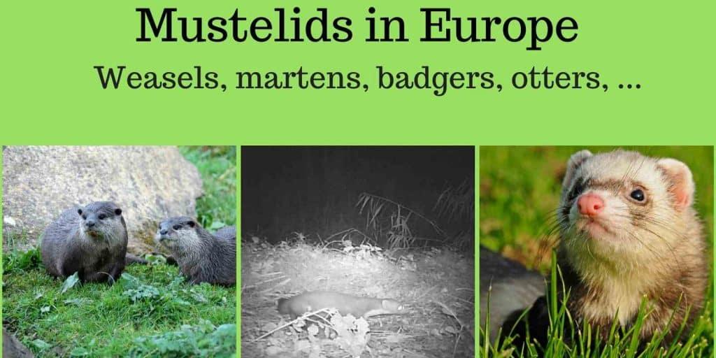 Mustelids in Europe