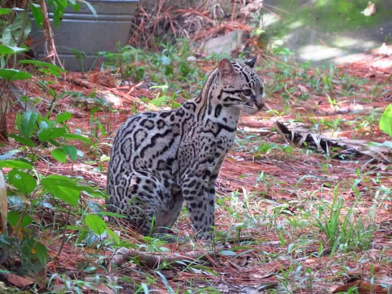 Ocelot - Belize Zoo