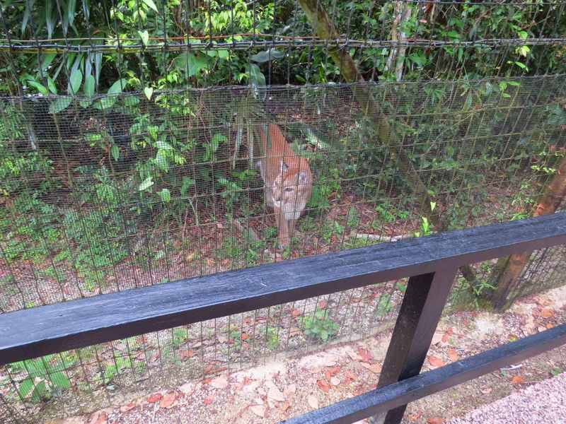 Puma Belize Zoo