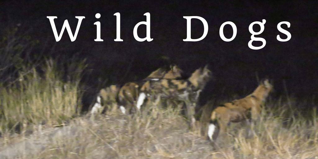 Wild dogs-Botswana