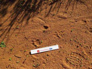 caracal track