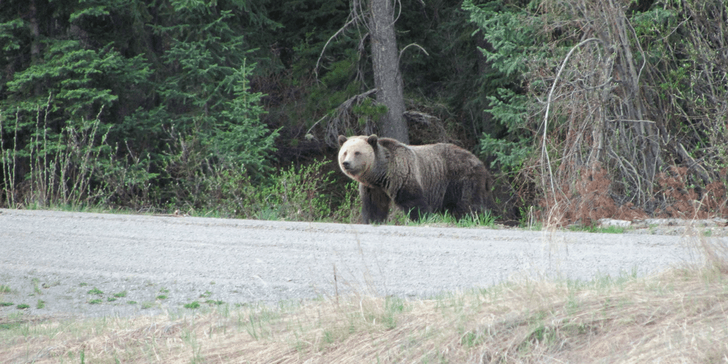 first grizzly bear