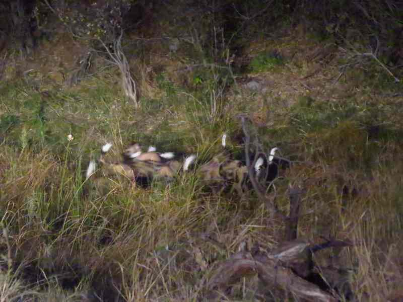 group of wild dogs