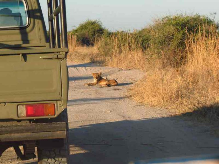 lion cubs on the road