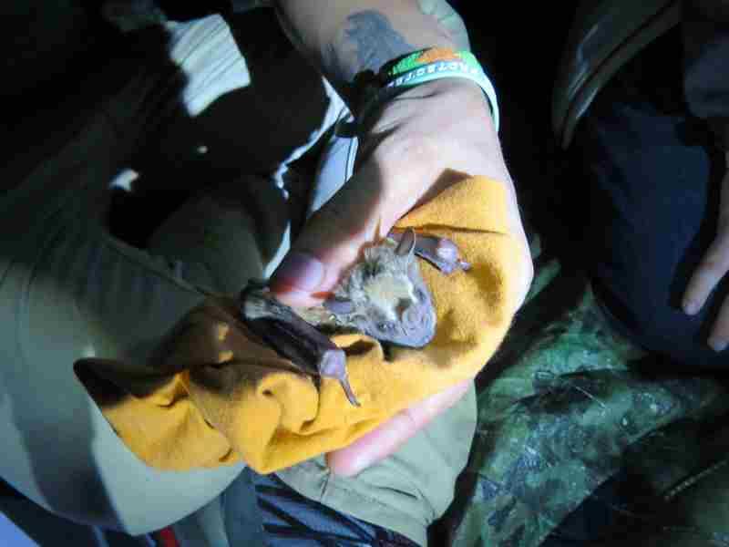 mistnetting bats
