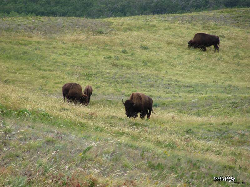 Bison in paddock-waterton lakes