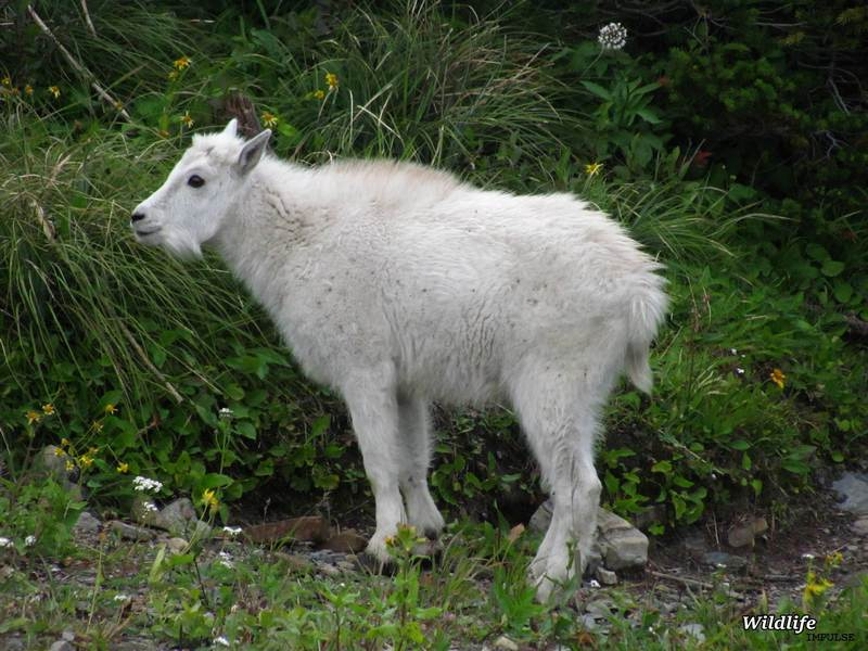 Young Mountain goat in Glacier NP, U.S.