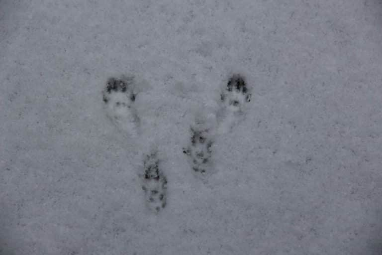 squirrel tracks