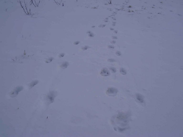 tracks of a wolf pack