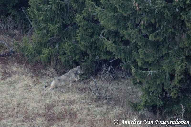 wolf-in-slovakia